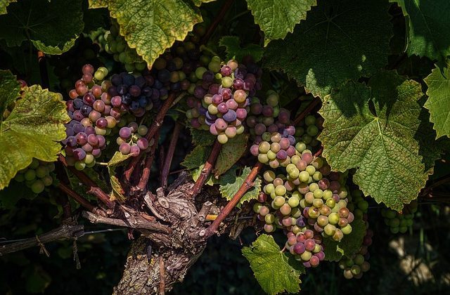 Grappes Vin nature