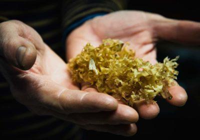 Algues congrus (c) Paul Stefanaggi